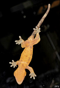Gecko (Science Photo Library)