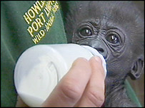 Tia, a western lowland gorilla
