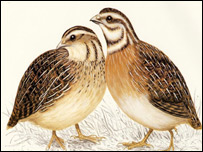 Japanese quails