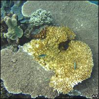 Coral. Image: AP