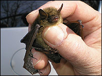 Bat in north-eastern United States, 2008