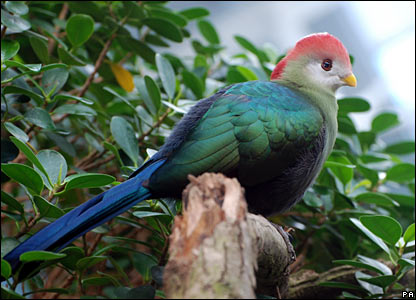 Red Crested Turaco. PA handout. Picture courtesy of the Zoological Society of London