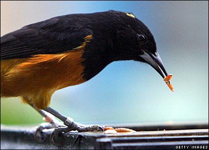 Montserrat Oriole bird feeding on maggots