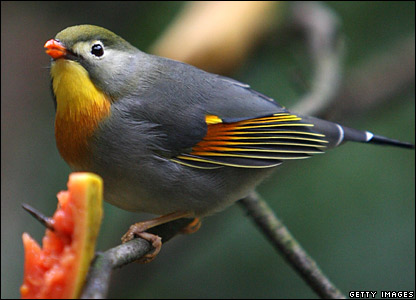 A Peking robin feeds on papaya fruit