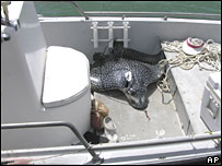 The spotted eagle ray which hit the Michigan woman