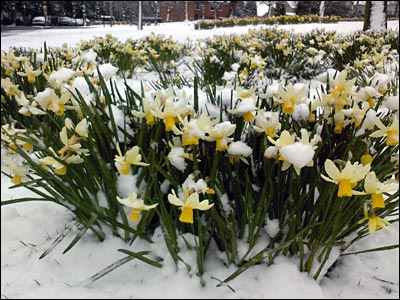Daffodils in snow. Copyright: Hannah Brown