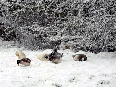 Ducklings in snow. Copyright Sue and Beth Bracey
