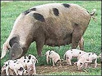 Gloucester old spot sow and piglets