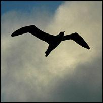 Albatross in flight. Image: BBC