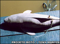 Harpooned boto. Image: Projeto Boto / Tony Martin