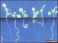Arabidopsis (G.Scherer)
