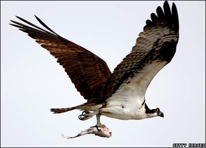 An Osprey, sometimes known as the sea hawk or fish hawk, carries a fish to its nest at the Kennedy Space Center in Florida