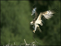 Glaslyn osprey landing on its nest