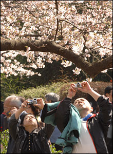 People photographing cherry blossom (photo James Cope)