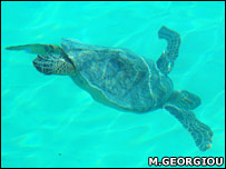 Turtle on Midway (BBC/Mark Georgiou)