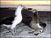 Laysan albatross feeding chick