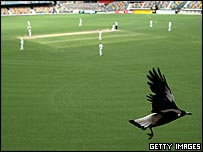 Magpie at cricket match