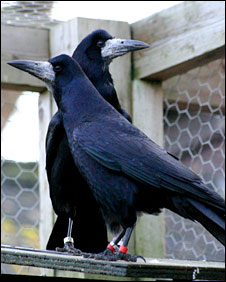 Pair of rooks (Christopher Bird)