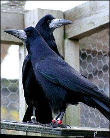 Pair of rooks (Christopher Bird)