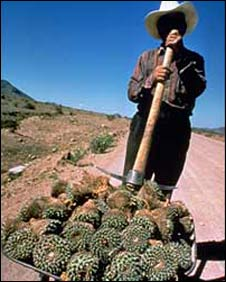 Man stands with wheelbarrow full of cacti in Chihuahua - file photo from WWF