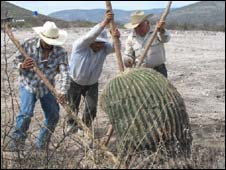 Men digging out a cactus from the ground - file photo from WWF