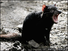 File image of a Tasmanian Devil