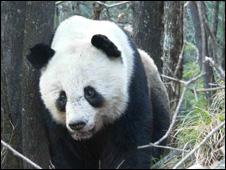Giant Panda (Picture: Yange Yong )