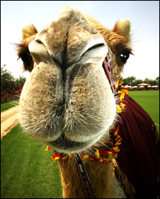 Batting My Camel Eyelashes at You
