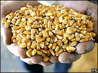Un hombre ofrece un puñado de granos de maíz  entre sus manos