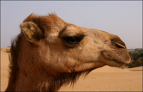 Camel in profile