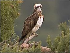 The female osprey [Michael Davison]