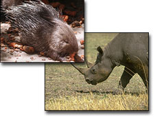 Porcupine and Rhino