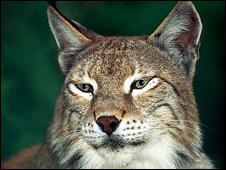 Lynx (file pic: WWF)