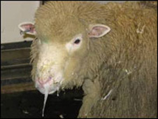 Sheep with symptoms of bluetongue disease (pic: Institute for Animal Health)