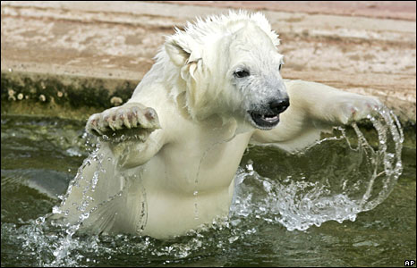 Four-month-old polar bear cub Flocke romps in the pool during her second outdoor trip in her enclosure at Nuremberg Zoo in southern Germany.