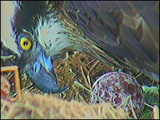 Osprey with egg