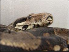 Boa constrictor (generic)