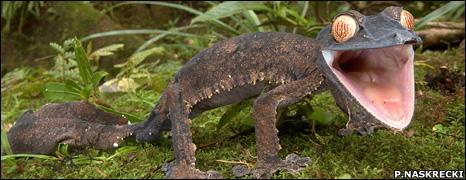 Giant leaf-tailed gecko (Image: Piotr Naskrecki)