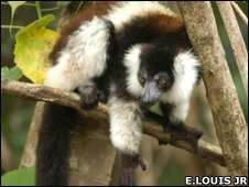 A lemur (Image: Edward E Louis Jr)