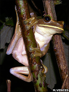 Tree-frog (Image: Miguel Vences)