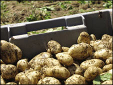 Jersey Royal potatoes:  Pic Jersey Royals