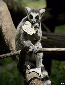 A lemur eats a matza in a safari park outside Tel Aviv, Israel.