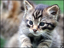 A Scottish wildcat kitten