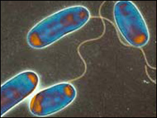 Legionella bacteria