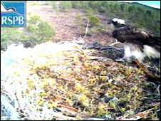 Osprey on Loch Garten next site (Pic: RSPB)