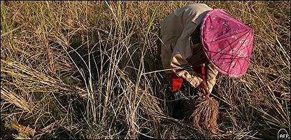 Cultivador de arroz en Tailandia, AFP