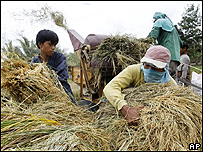 Cultivadores recolectan arroz manualmente en Filipinas, AFP