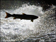 Salmon in the River Tweed