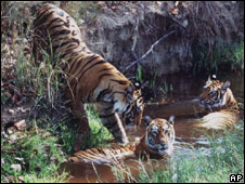 A tigress with her cubs in India's Bandhavgarh park