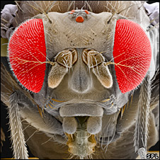 Scanning electron micrograph of the fruit fly (SPL)